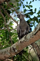 Grey Lourie,Corythaixoides concolor,Kruger Nationalpark,South Africa,Africa,adult on tree calling