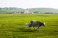 Cattle with a calf in Hulun Buir Grassland, Manzhouli, Hulunbuir City, Inner Mongolia Autonomous Region, China