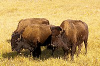 American bison American buffalo, Custer State Park, Black Hills, South Dakota USA