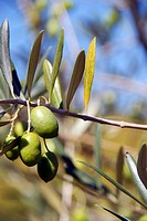 Olives, Douro river valley, Pinheiro, Portugal