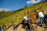 Grape Harvest at the Fields in the Symington States, Pinhao,  Duoro Valley, Duoro, Portugal