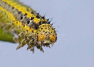 Great Southern White butterfly caterpillar Ascia monuste