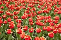 Tulips in a botanical garden, Giardini Botanici Villa Taranto, Lake Maggiore, Pallanza, Province of Verbano_Cusio_Ossola, Piedmont, Italy