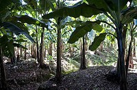 Banana trees in field, Puerto Limon, Costa Rica