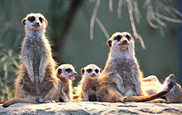 Meerkats (Suricata Suricatta), family, two young animals