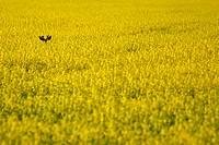 A buck hiding in canola, Manitoba, Canada