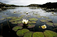 Water lillies in lochan, Outer Hebrides, Scotland