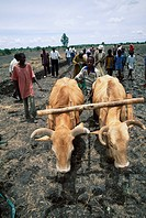 COWS PLOUGHING  , MALAWI