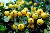 Wild Pear (Pyrus pyraster), pear, Biosphaerenreservat Suedost-Ruegen Biosphere Reserve South-East Ruegen, Ruegen Island, Mecklenburg-Western Pomerania...