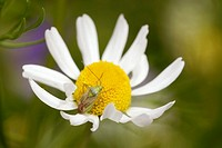 Green Capsid, Lygocoris sp on Chamomile flower, Chamaemelum nobile, Wales