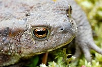 Common Toad, Bufo bufo, Wales