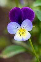 Heartsease, Viola tricolor