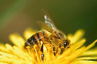 Honey Bee, Apis mellifera on Dandelion flower, Taraxacum vulgaria, Wales