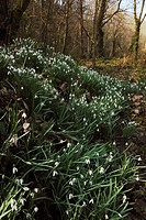 Snowdrop flowers, Galanthus nivalis growing in a Welsh woodland