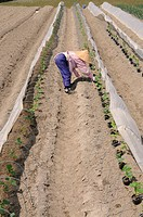 Farmwoman planting cucumbers, intensive agriculture under plastic sheeting, Iwakura, Japan, East Asia, Asia