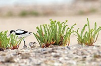 Pied Avocet (Recurvirostra avosetta) with chicks