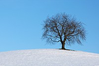 Tree in winter, Switzerland, Europe