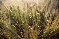 Photograph of a wheat field in the Plain
