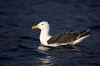 Greatt Black Backed Gull Larus marinus Norway