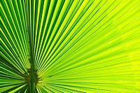 Palm-leaf, tropical rainforest, Cairns, Queensland, Australia