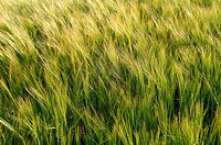 Green ears of Barley (Hordeum vulgare) on a field