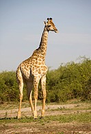 Giraffe (Giraffa camelopardalis), Chobe National Park, Botswana, Africa