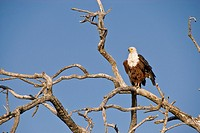 Fishing Eagle on a tree near the Chobe river  Chobe National Park, Botswana
