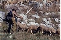 Photograph of an Italian shepherd and his flok