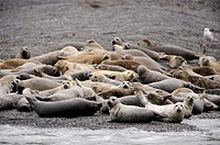 Group of harbor seal resting on the beach Phoca vitulina Kodiak Island, Alaska, USA