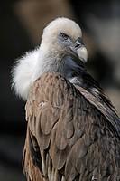 Griffon vulture (Gyps fulvus), portrait