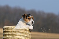 Jack Russell Terrier puppy sitting in a wicker basket