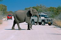African elephant Loxodonta africana, single animal crossing the road, with jeep in the background, Namibia, Etosha NP