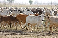 Zebu cattle herd, at Lagdo Lake, northern Cameroon, Cameroon, Africa