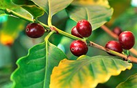 Arabian coffee Coffea arabica, fruits