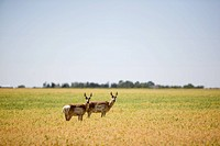 Two Prairie Antelope