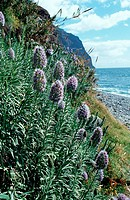 vipersbugloss, Pride of Madeira Echium nervosum, blooming plants at the coast, Portugal, Madeira