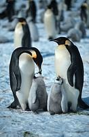 emperor penguin Aptenodytes forsteri, Antarctica