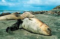 southern elephant seal Mirounga leonina, female suckling, Argentina