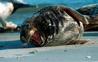gray seal Halichoerus grypus, bull, Germany