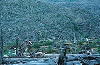 by 1980 eruption destroyed forest .