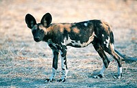 African wild dog Lyacon pictus.
