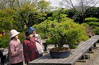 Old Japanese women inspecting a bonsai tree at the Botanical Garden in Kyoto, Japan, Asia