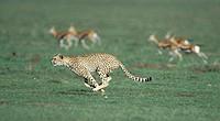 cheetah Acinonyx jubatus, hunting, Kenya, Masai Mara