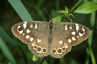 speckled wood Pararge aegeria, top side