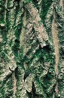 walnut Juglans regia, bark, Mrz 00.