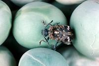 pea weevil, pea seed weevil Bruchus pisorum, imago