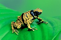 yellow_banded poison dart frog, yellow banded poison frog, bumble bee poison arrow frog Dendrobates leucomelas, sitting on a leaf