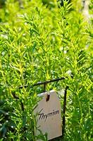 Thyme (Thymus)