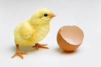Newly hatched chick next to a broken eggshell