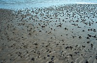 Blow Lug. Lug_worm. Casts in estuarine flat Arenicola marina, Mai 97.